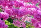 Puzzle Sakura Arbre du Japon