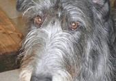 Puzzle deerhound