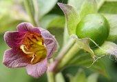 Puzzle Fleur de Belladone