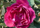 Puzzle rose rouge