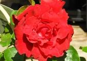 Puzzle magnifique rose