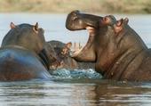 Puzzle Trois hippopotames