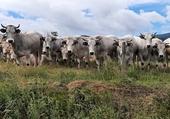 Puzzle Les vaches
