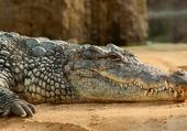 Puzzle Crocodile du Nil
