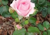 Puzzle Belle rose!!!