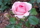 Puzzle Une  belle rose...