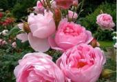 Puzzle Roses pivoines