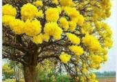 Puzzle Ipe jaune ou Lapacho