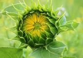 Puzzle SUN FLOWERS