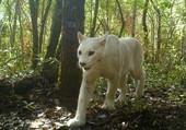 Puzzle Puma blanc