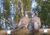 Puzzle pigeons