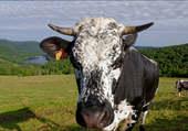 Puzzle la vache