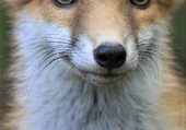 Puzzle jeune renard
