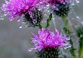 Puzzle Fleurs de chardons
