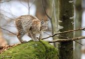 Puzzle Lynx Boreal dans son habitat