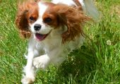 Puzzle Cavaliers King Charles